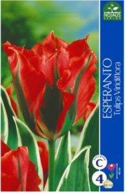 Tulpės Esperanto 4 vnt.