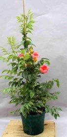 Vijoklinis augalas, Ląstūnė stambiažiedė Madame Galen, įvairios veislės, vazonas 2 l