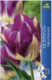 Tulpės HOTPANTS 5 vnt.