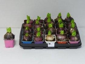 Kambarinis augalas Hiacintas