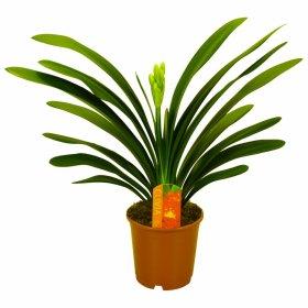Kambarinis augalas Klivija