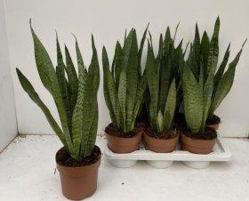 Kambarinis augalas Sansevjera Zeylanica