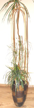 Bambukinis dvigubas lankas   aukštis 150 cm