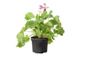 Vienmetė gėlė pelargonija (kompaktinė)