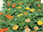 Sėklos gėlių, Vaistinė medetka  ASEJA Fiesta gitana 40900( 5 ), 1,5 g.